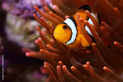 Fototapeta Amphiprion ocellaris clownfish in marine aquarium