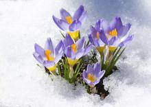 Purple Crocuses On Snow