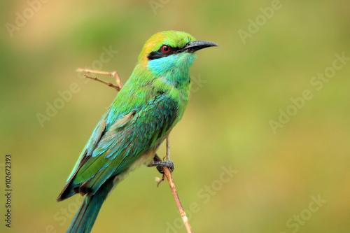 Photo  Green Bee-eater (Merops Orientalis) on a Branch, Bundala National Park, Sri Lank