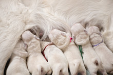 Puppies Drinking Milk From Mother