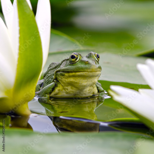 Foto op Aluminium Kikker Marsh frog among white lilies