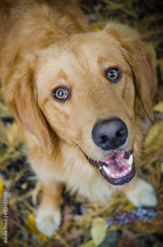 Happy Golden Retriever Smiling With Cheerful Eyes Buy This Stock