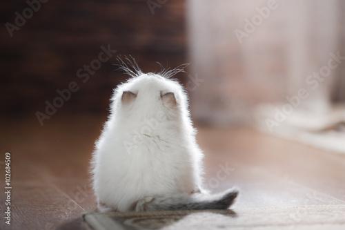 Valokuva Ragdoll blue point kitten