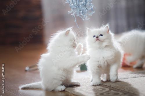 Valokuva Ragdoll blue point two little kittens