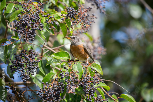 Fotografija American Robin, Turdus migratorius, feeds on black berry-like fruit of Cinnamomum Camphora tree