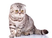 Scottish Fold Cat Bicolor Stripes On White Background