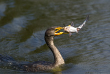Double Crested Cormorant (Phal...