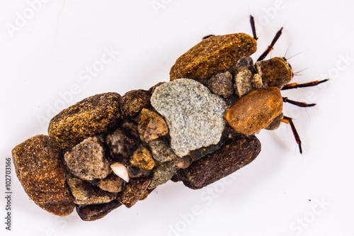Cased caddisfly larva