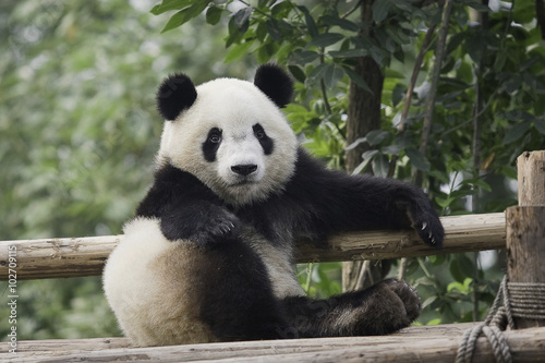 Canvas Prints Panda panda