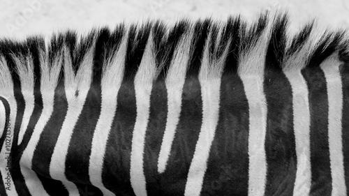 Poster Zebra Zebra skin