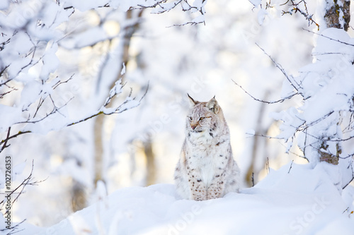 Foto auf Leinwand Luchs Lynx cub in the cold winter forest