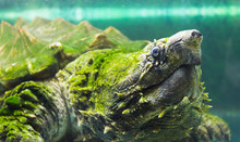 Alligator Snapping Turtle In A...