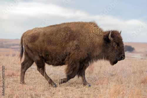 Keuken foto achterwand Buffel American Bison walking, Maxwell Wildlife Preserve, Kansas
