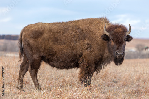 Photo Stands Bison American Bison, Maxwell Wildlife Preserve, Kansas
