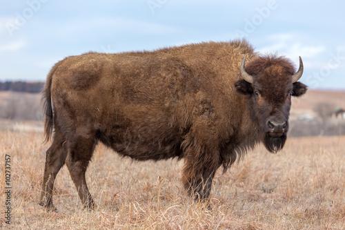 Deurstickers Bison American Bison, Maxwell Wildlife Preserve, Kansas