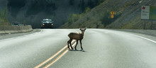 Young Deer Walks Across Highway On A Blind Curve