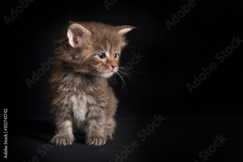 Photographie  Maine Coon kitty