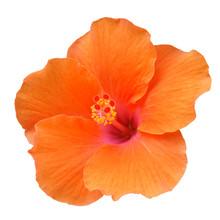 Orange Hibiscus On White Backg...
