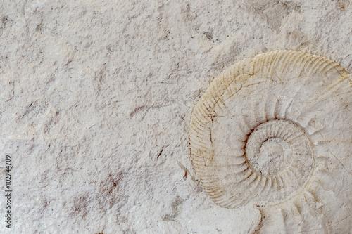 ein freigestellter Ammonit