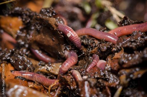 Kompostwürmer (Eisenia fetida)
