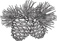 Two Pine Cones With Needles
