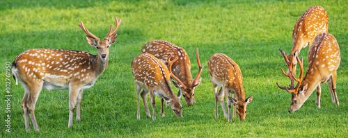 Deurstickers Hert fallow deer