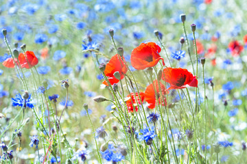 Fototapetapoppies and cornflowers