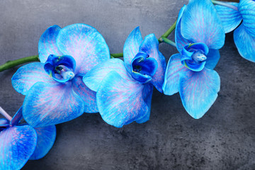 Panel Szklany Storczyki Beautiful blue orchid flowers on grey background, close up