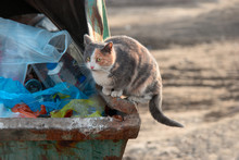 Homeless Cat Scavenging Food O...