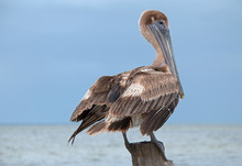 Brown Pelican Perching / Roosting On Fishing Dock Post On Isla Blanca In The Cancun Bay In The State Of Quintana Roo Mexico Along The Mayan Riviera Coast