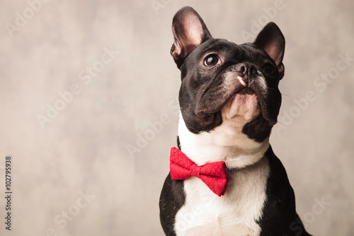 Poster Franse bulldog french bulldog wearing a red bowtie while posing looking up