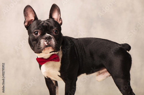 Deurstickers Franse bulldog portrait of curious black and white french bulldog