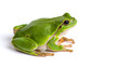 European green tree frog sitting isolated on white