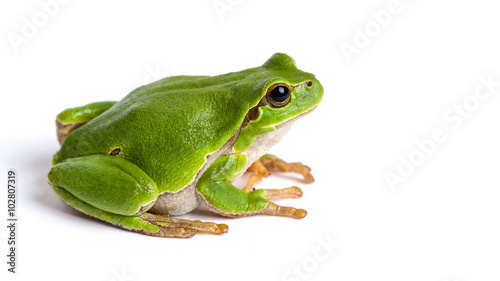 In de dag Kikker European green tree frog sitting isolated on white