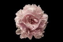 Pink Flower On The Black Backg...