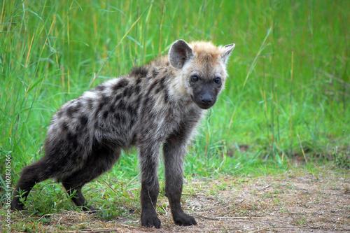 In de dag Hyena Spotted heyna cub in Kruger National Park