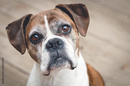 Photo  Old Boxer Dog