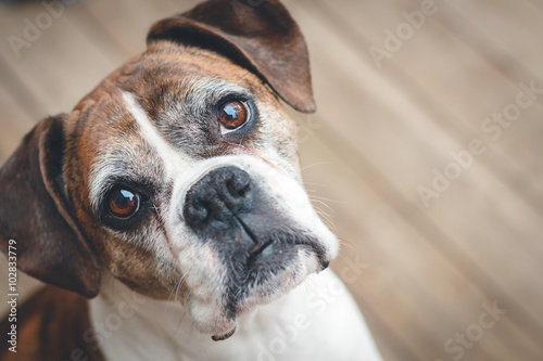 Fotografía Old Boxer Dog