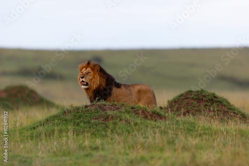 Fotobehang Leeuw Big Lion Lipstick of Rekero Pride between some termite hills in Masai Mara, Kenya