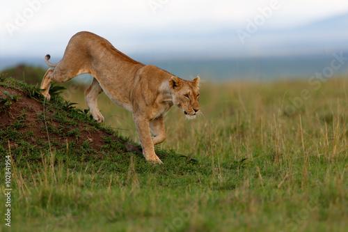 Fotografía  León femenino de Rekero orgullo caminar abajo de un montículo de termitas en Mas