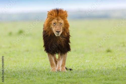Fotografía  Cierre para arriba del león Notch II