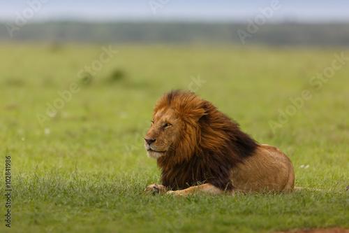 Pinturas sobre lienzo  León Notch II en Masai Mara, Kenia
