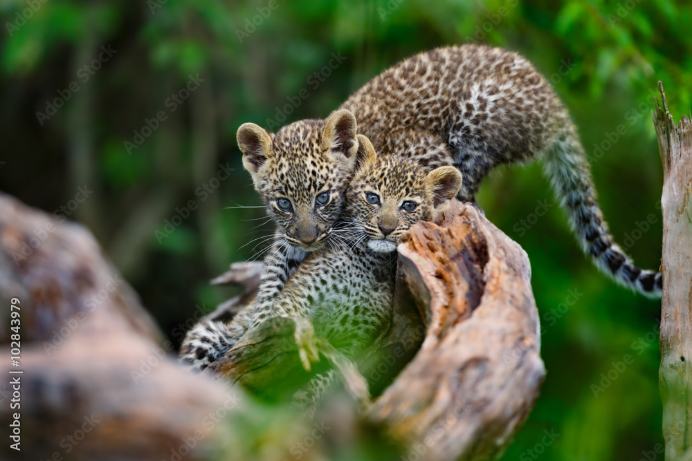 Leopard cubs (two month) playing on a dry tree in Masai Mara, Kenya
