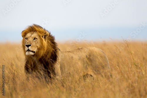 In de dag Leeuw Mighty Lion watching the lionesses who are ready for the hunt in Masai Mara, Kenya