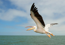 White Pelican In Flight With C...