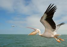 White Pelican In Flight, Catch...