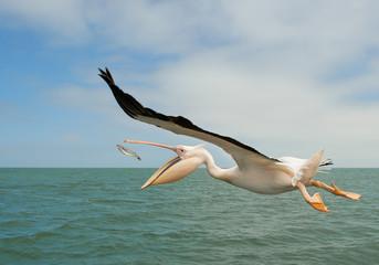 Fototapeta na wymiar White pelican in flight, catching the fish, Namibia, Africa