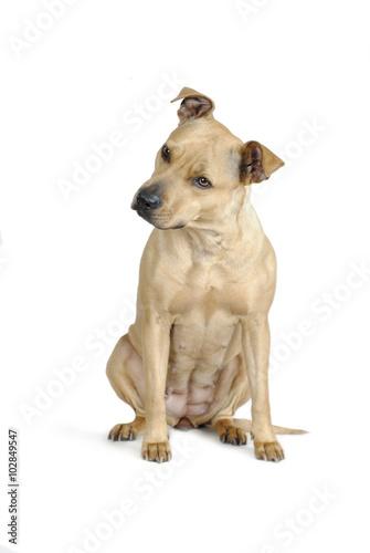 Poster Dog Zittende hond met witte achtergrond