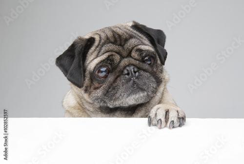 Fototapeta Pug with paw up obraz na płótnie