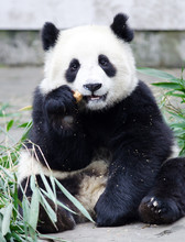 Giant Panda Cub Eating Bamboo, Sitting Pose, Chengdu, China